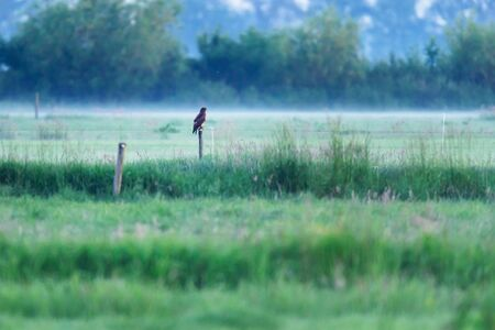 Buzzard perched on wooden pole in misty countryside. Stockfoto