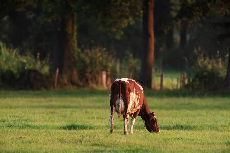 Cow grazing in meadow near forest. Stock Photo