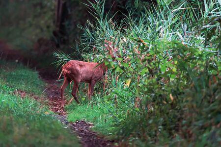 Eating roe deer doe on forest path between reed.