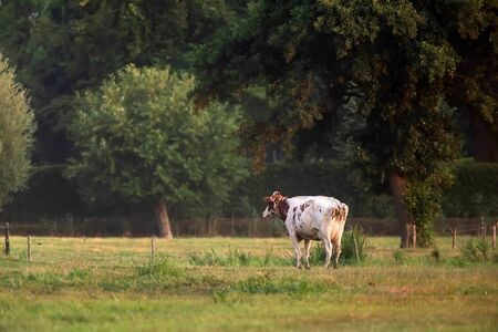 Cow standing in meadow near forest.