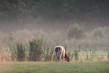 Cow grazing in misty meadow.