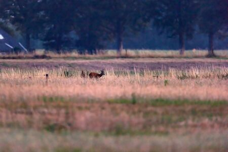 Young roebuck roams over meadow at dusk.