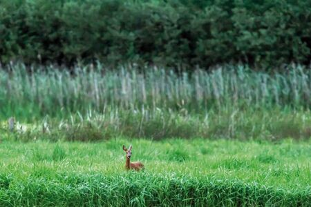 Roe doe in meadow with tall grass and reed.