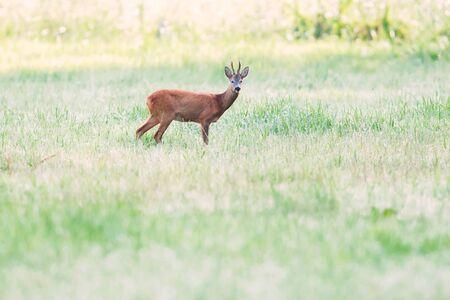 Roebuck de pie en los pastos al amanecer. Foto de archivo