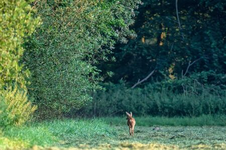 Roe deer searching food at forest edge at dawn.