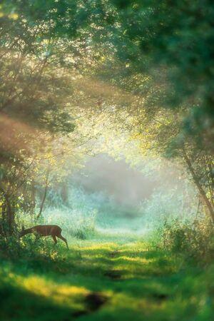 Roe deer doe crossing misty forest trail at dawn. Stockfoto
