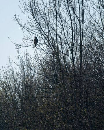 Buzzard sits on branch in bush during early spring. Stock Photo