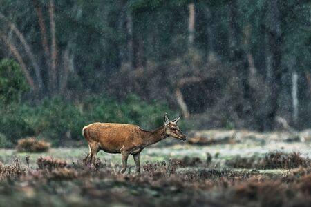 Red deer doe in rainy heather landscape. Stock Photo
