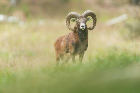 Mouflon buck in field with tall grass.