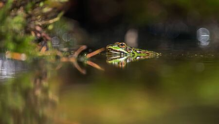 Female pool frog in pond in forest.