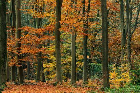 Oranje, geel en groen gebladerte in herfstbos. Stockfoto