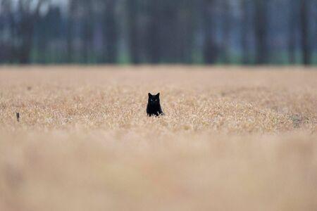 Black cat sits between tall yellow grass.