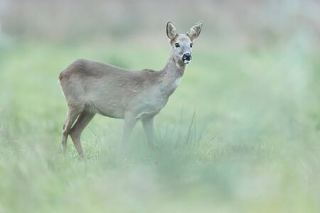Roe deer doe in winter fur in meadow.