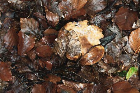 Wet brown mushroom between fallen leaves in autumn forest. Reklamní fotografie