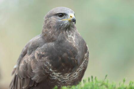 Headshot of common buzzard with blurred background. Banco de Imagens - 138193055
