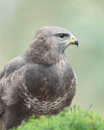 Headshot of common buzzard with blurred background.
