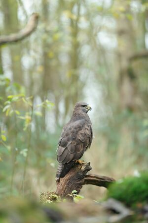 Buzzard sits on tree stump in forest. Side view.