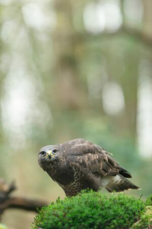 Common buzzard on mossy forest ground eating its prey.