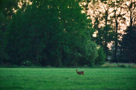 Female roe deer in meadow during sunset.