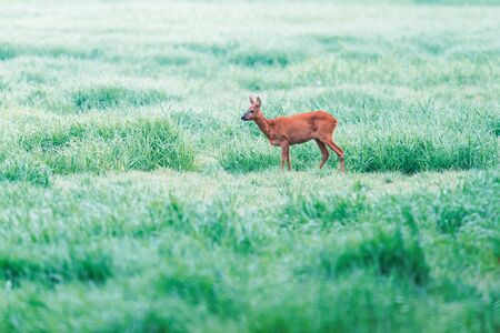Roe deer in foggy grassland with high grass. Side view.