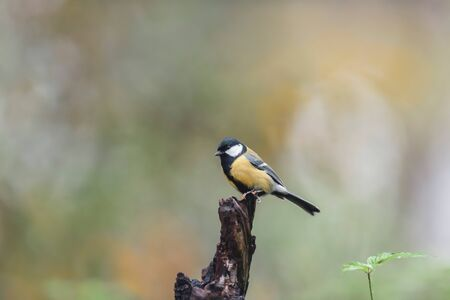 Great tit on a tree stump in autumn forest.