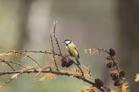 Great tit on branch of fir tree in autumn. 版權商用圖片