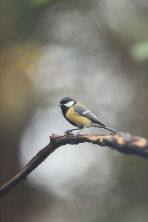 Great tit on a branch in autumn forest.