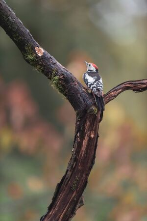 Great spotted woodpecker in a tree in autumn woods.