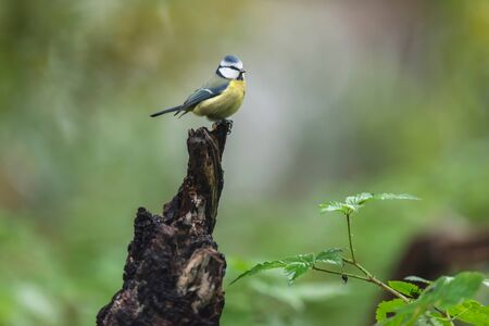 Blue tit on a tree stump in autumn woods. 版權商用圖片