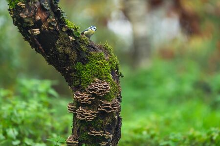 A blue tit perched a mossy tree trunk.