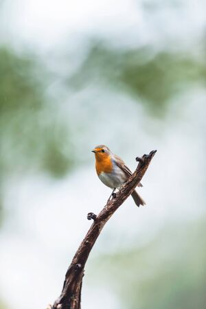 A robin red breast bird perched on a branch. 版權商用圖片
