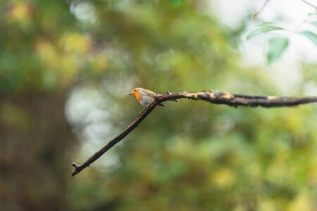 A red breast bird on a wet branch in an autumn forest.