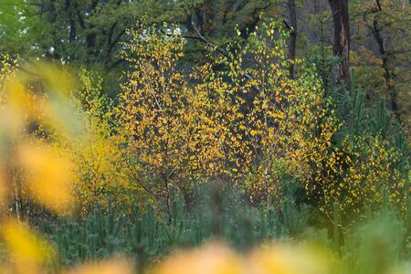 Fir tree forest with yellow colored birch trees in autumn.
