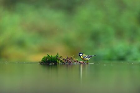 A great tit in a mossy forest pond.
