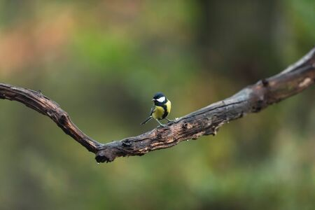 Great tit on a branch in autumn woods. 版權商用圖片