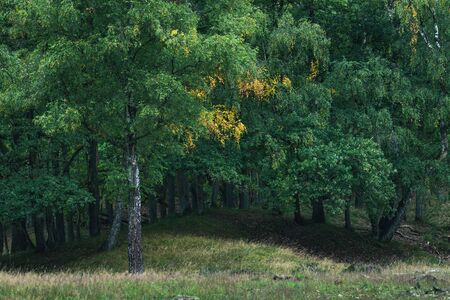 Birch tree with some yellow colored leaves in early fall.