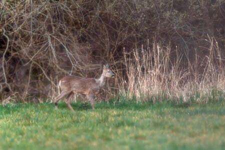 Roe deer in meadow at edge of forest. Side view.