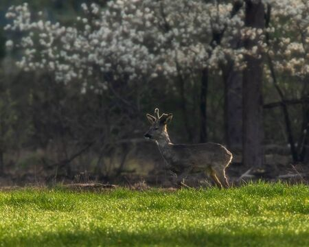 Roebuck standing in fresh meadow at forest edge. Stockfoto