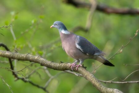 Common wood pigeon on branch in fresh spring woodland.