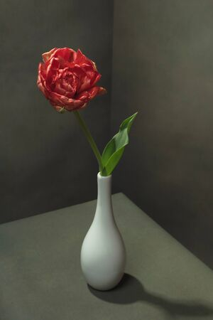 Red tulip in white vase in empty room. Foto de archivo - 146459998