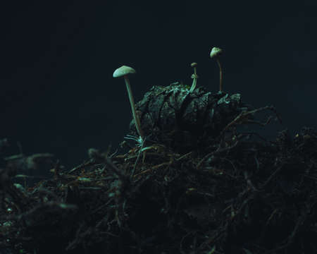 Little mushrooms grown in a pinecone on a forest ground.