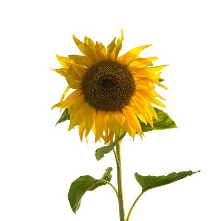 Sunflower (geïsoleerd)