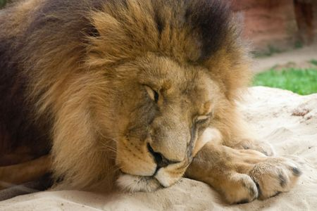 Closeup of the Lion is sleeping on the sand