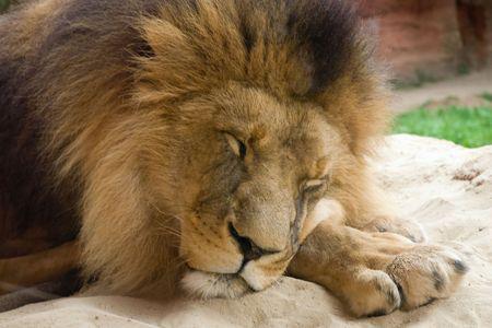 Closeup van de Leeuw is slapen op het zand