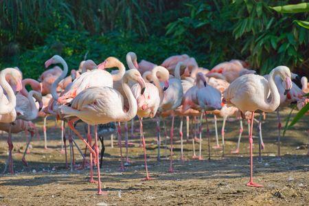 Bandada de flamencos rosados en contra de uno �rboles