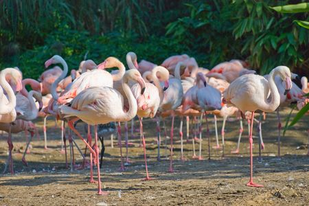 Flock of pink flamingos against a trees Stock Photo