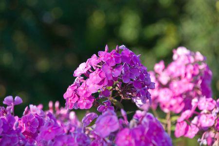 Bush, de un color rosa con peque�os Phlox DOF