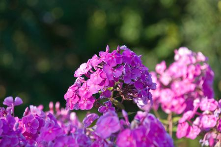 Bush van een roze Phlox met kleine DOF
