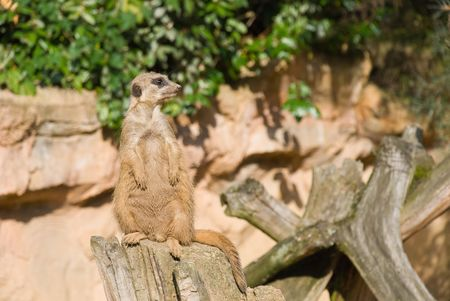 Meerkat (Suricate) Looking Recht