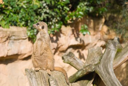 suricate: Meerkat (Suricate) Looking Left Stock Photo